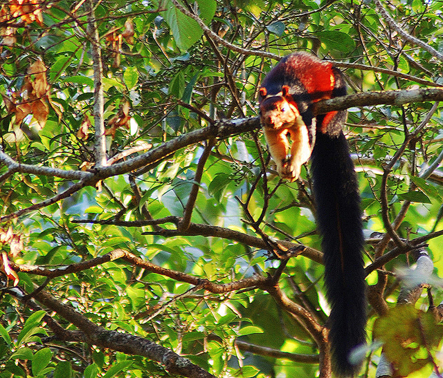 A Malabar giant squirrel in the forest of the Pathanamthitta District of Kerala, south of Vazhachal