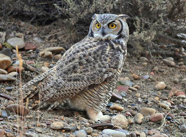 A great horned owl (Bubo virginianus), the picture of intelligence taken in Wyoming