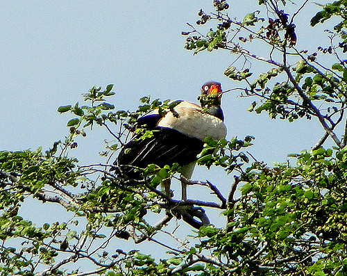 A king vulture (Sarcoramphus papa) in a tree in Venezuela