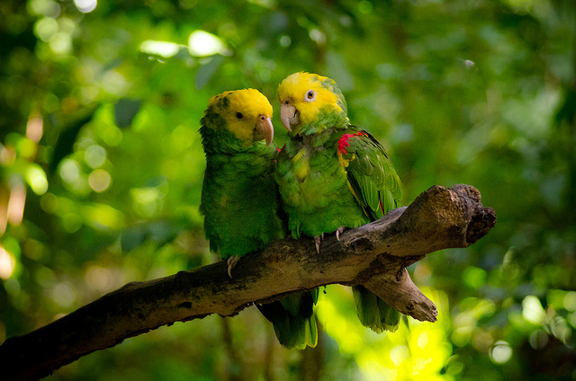 Two yellow-headed Amazons (Amazona oratrix) photographed in Mexico