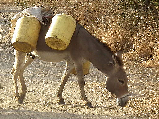 A donkey being used as a beast of burden in Tanzania