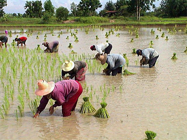 Rural Thai rice farmers