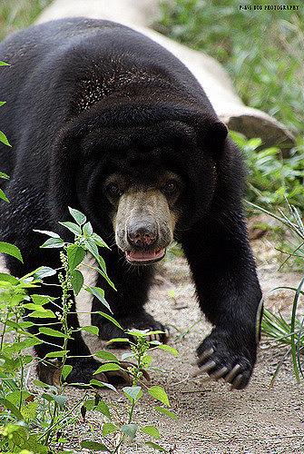 A Malayan sun bear at a zoo in Malaysia