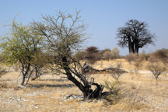 Burned trees in the Nyae Nyae Conservancy
