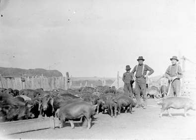 Hogs in an Alberta Hutterite colony in October 1922, though clearly not confined (Photo by R.B. in Wikimedia, Creative Commons license)