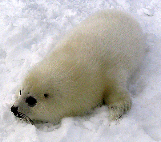 Images of cute seal pups with their big dark eyes, crouched helplessly on the ice as hunters poise to bludgeon them, fueled the popular outrage at hunting them (Photo by Matthieu Godbout in Wikimedia, Creative Commons license)