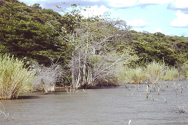 The continuously changing water level left a dead forest partially submerged in the central area of Lake Rukwa