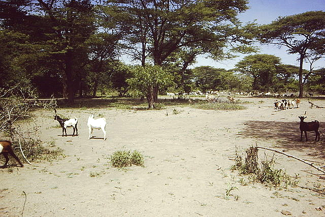 Results of overgrazing in the Rukwa plains on the southeastern side of the lake