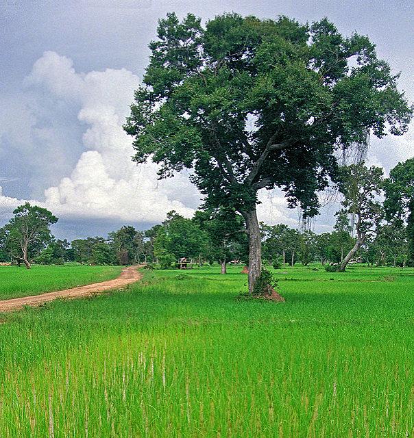 A rice paddy in Isan, near Mahasarakham