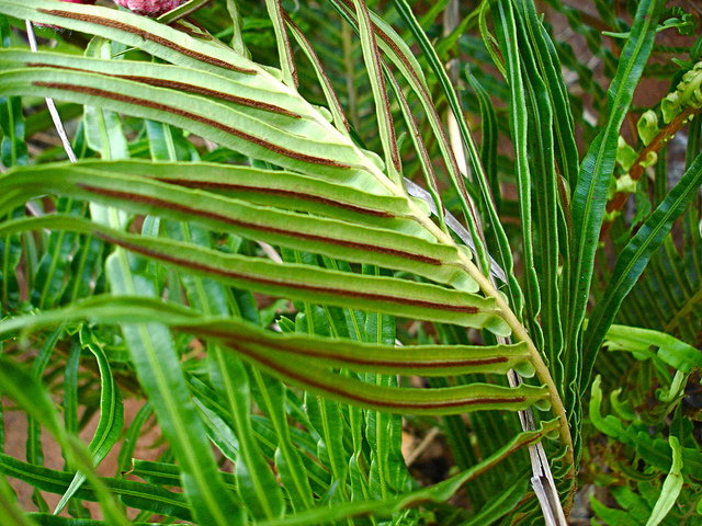 The Semai use the crushed leaves of Blechnum orientale, a wild native herb, as a medicinal preparation to help heal abscesses