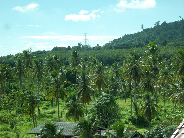 Oil palms growing in Surat Thani, Thailand