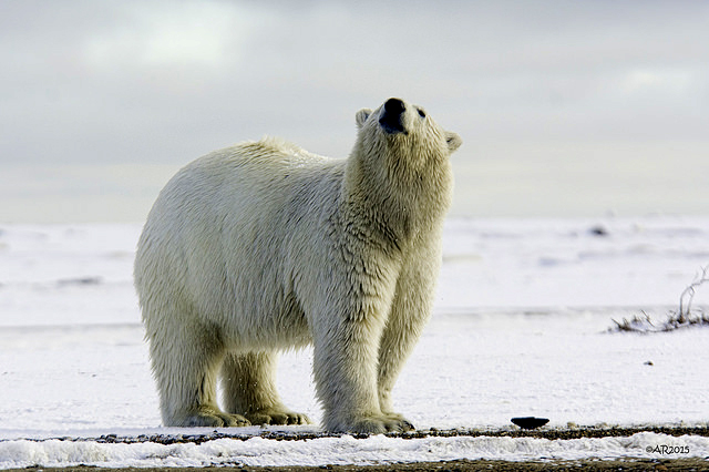 Is the polar bear sniffing for human scents?