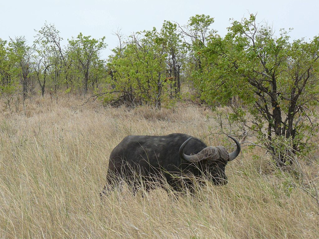 An African buffalo in the mopane shrub lands of the Kruger National Park