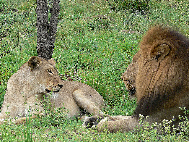 A lioness and a lion in Kruger National Park