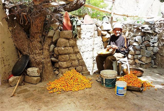 Preparing apricots at the Alchi Monastery, Ladakh