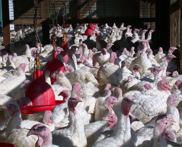 Turkeys in a turkey barn