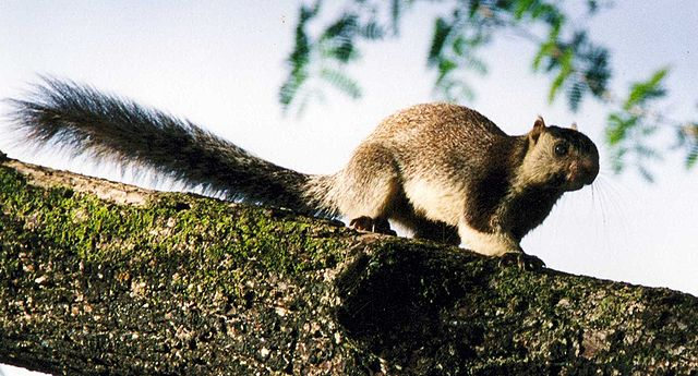 A grizzled squirrel (Photo by Cyrillic in Wikimedia, in the public domain)