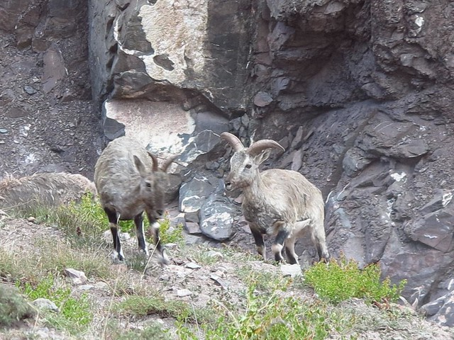 Wildlife visible along the Markha Valley trek (Photo by trapheler on Flickr, Creative Commons license)