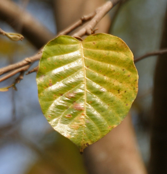A leaf from a sal tree in West Bengal, India
