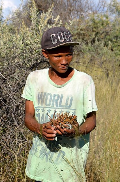 San man in Namibia holding some devil's claw that he has gathered