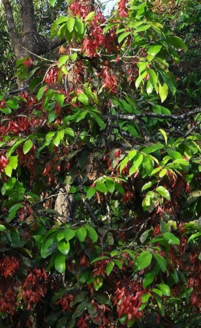 Shorea, a genus of tropical trees that includes the meranti