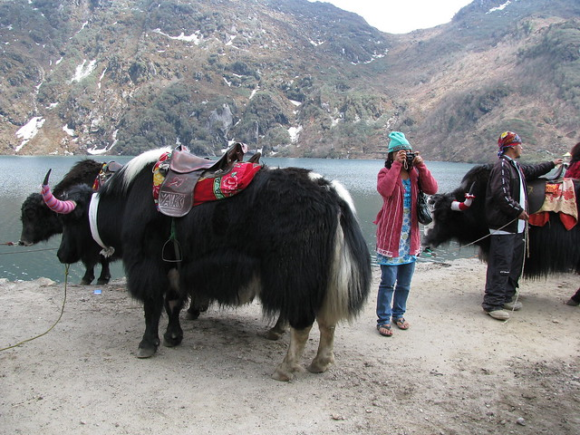 Tourists and yaks at Tsomgo Lake (photo by shankar s. on Flickr, Creative Commons license)