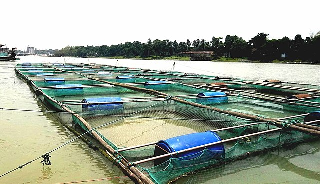Fish culture in cages in Chandpur, coastal Bangladesh (Photo by AsikBinRahim in Wikimedia, Creative Commons License)